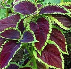 plante tropicale forskoline
